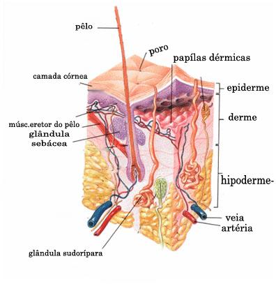 Pele humana Fonte: Wikipedia