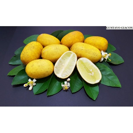 Essência Citrus do Pantanal - 120 ml
