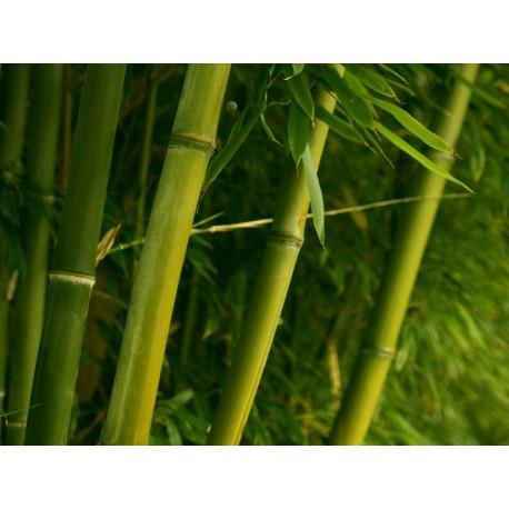 Extrato Natural ZEA - Broto de Bambu